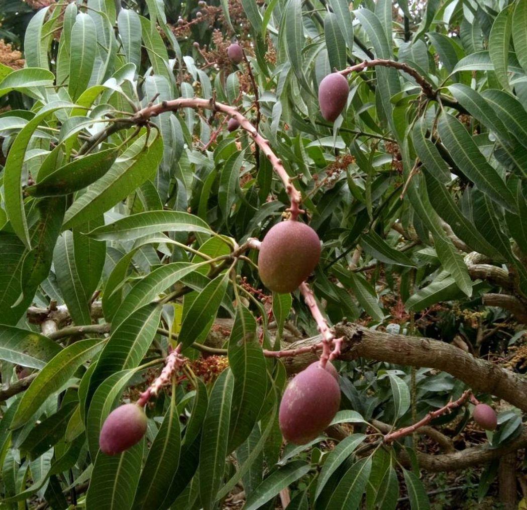 什麼水果最能代表台灣?南部農校學生偏愛酸甜可口的芒果。圖/豐年社提供