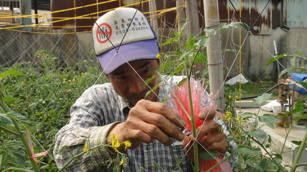 進行勞動服務的小戴利用務農專長,在林邊仁和村一塊荒地打造出番茄果園。記者蔣繼平/...