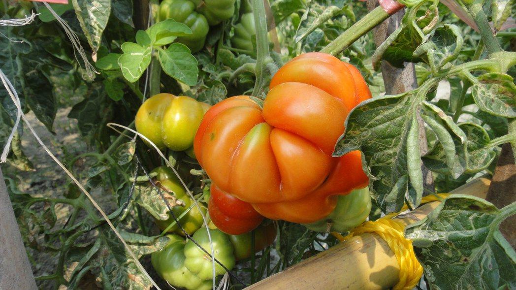 屏東縣林邊鄉仁和村的和平小花園,經過社勞人的巧手打造成為番茄果園。記者蔣繼平/攝...