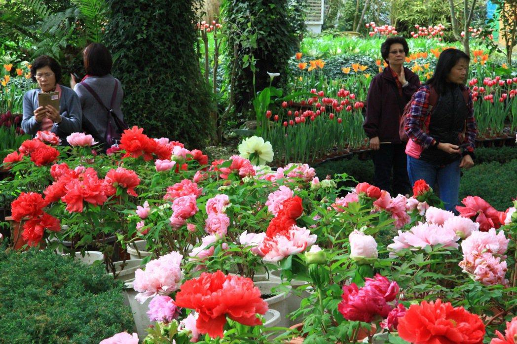素有花中之王的牡丹花,在杉林溪森林園區已盛開,花期持續到4月結束。 圖/杉林溪森...
