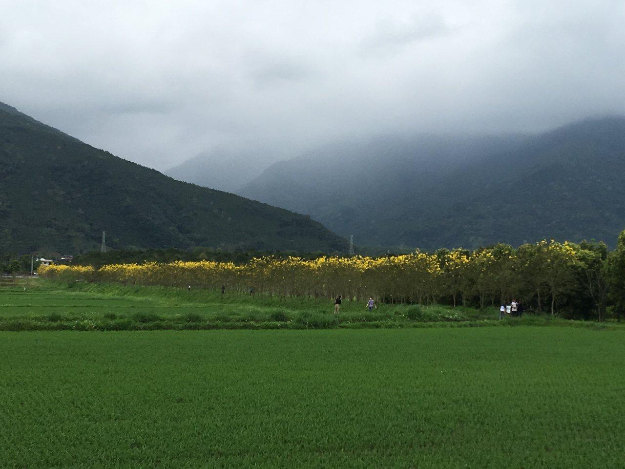 一整片稻田旁,可看到一列黃色樹林。記者陳麗婷/攝影