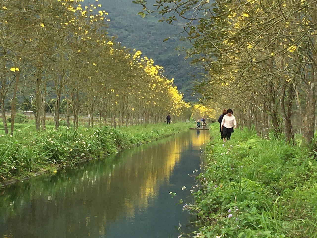 花蓮光復鄉水圳兩旁種植的黃花風鈴木,近來開了許多黃花,印照在清澈流水中,景色浪漫...