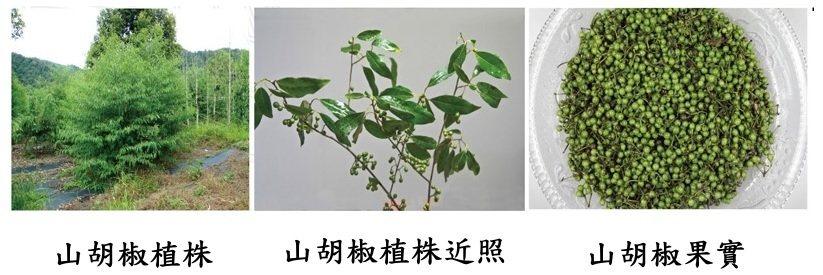 山胡椒(馬告)植株、近照及果實。(林試所提供)