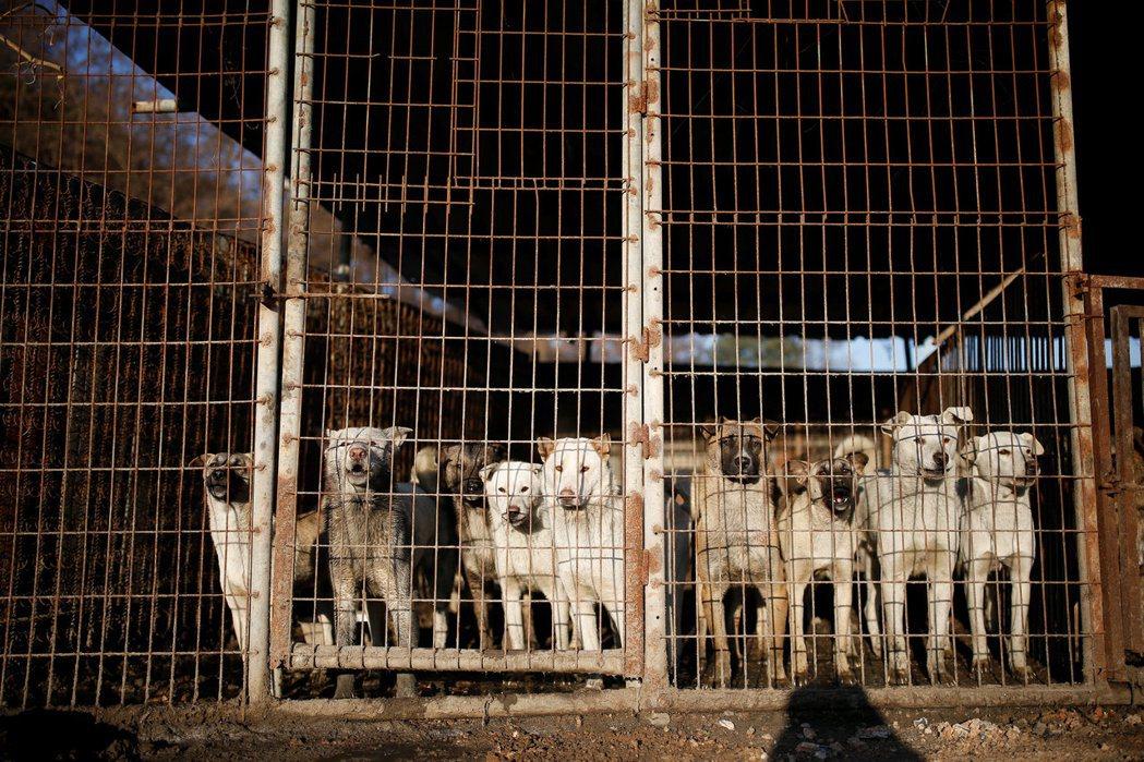 亞洲有許多國家有吃狗肉的文化,在南韓,吃狗肉風氣逐漸式微,但仍有人愛吃狗肉,圖為...