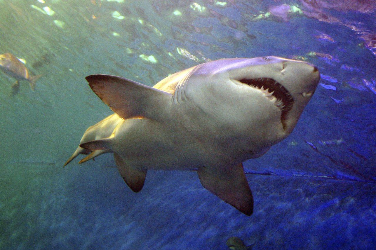 鯊魚示意圖。圖/ingimage