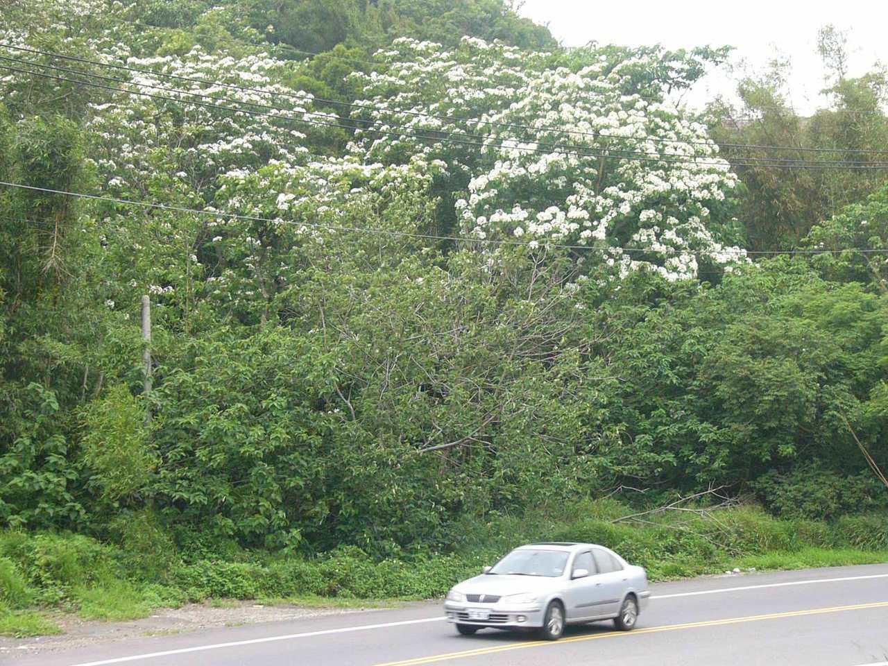台3線中豐路在4、5月間可以欣賞桐花山林之美。 圖/新竹縣政府提供
