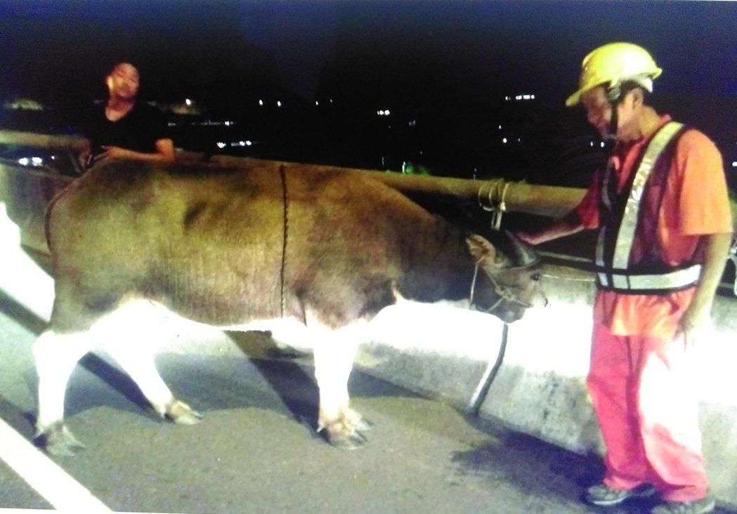 一頭小水牛去年9月誤闖中山高,警方動用2輛巡邏車、1輛工程車和1輛拖吊車,折騰1...
