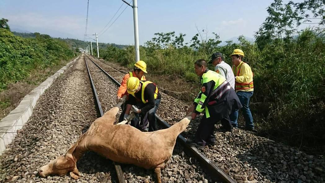 台鐵員工及警方合力將牛隻從鐵軌移除。 圖/台鐵提供