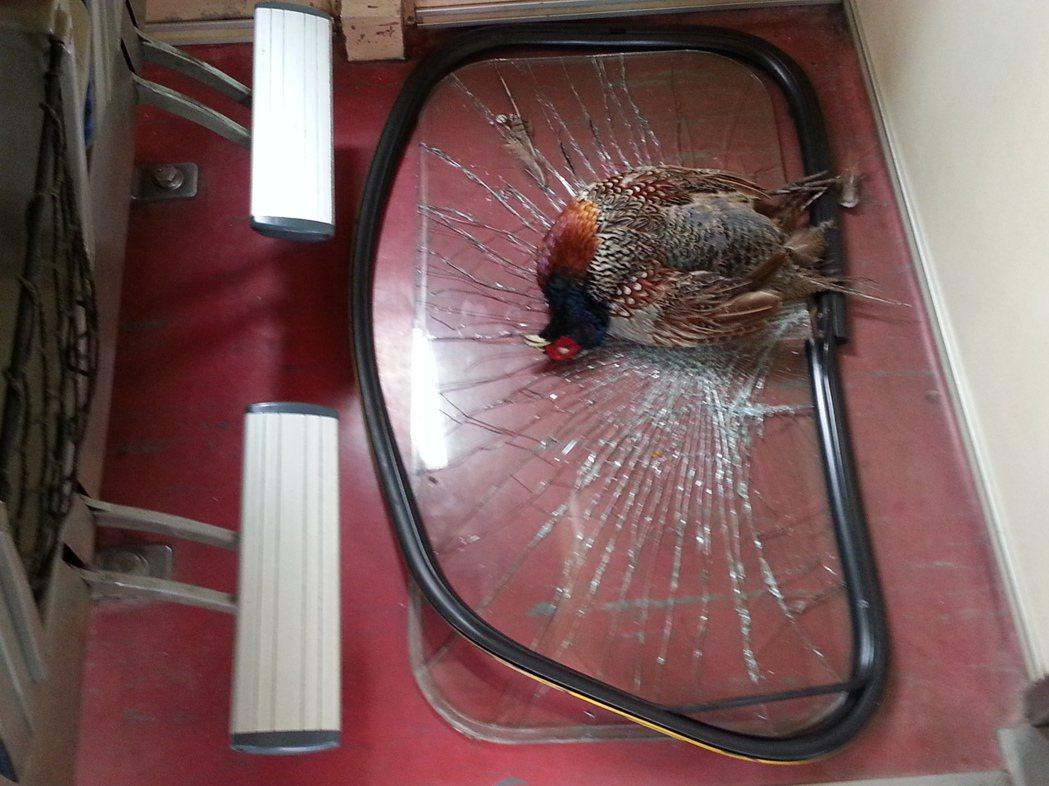 2012年11月台鐵一輛自強號行經康樂站時,一隻環頸鴙撞上列車玻璃不幸死亡。 圖...