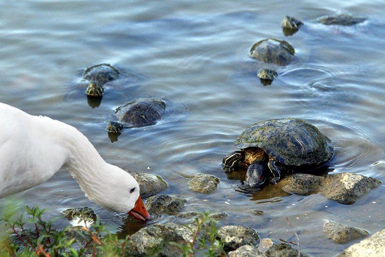 圖為被放生的外來種巴西龜。 圖/本報系資料照