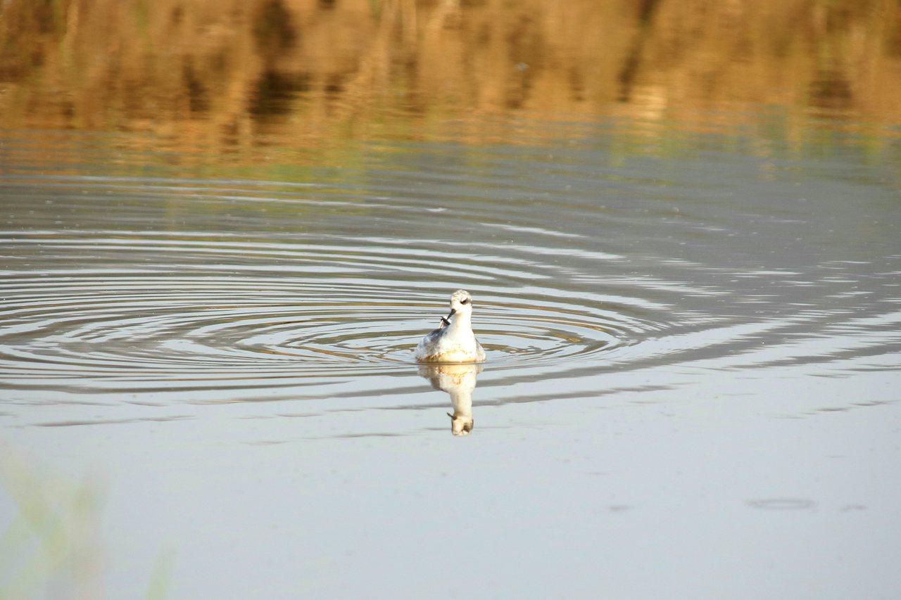 紅領瓣足鷸身形嬌小,整天都在休耕的池水中覓食,還會不停划水像陀螺一樣打轉,模樣可...