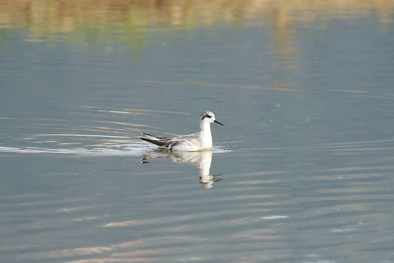 金山清水濕地最近有隻「紅領瓣足鷸」,因生性不怕人,被鳥友稱為是「最親民的水鳥」。...