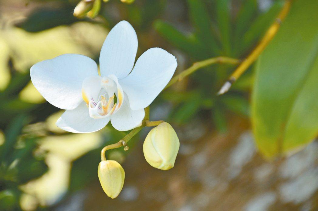 復育成功的蝴蝶蘭,在蘭嶼盛開。 圖/蘭後提供
