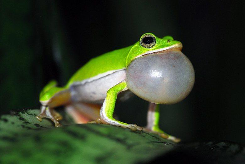 圖為諸羅樹蛙,因近年來露營戶外活動蔚為風潮,在露營地陸續開發下面臨消失疑慮。 圖...