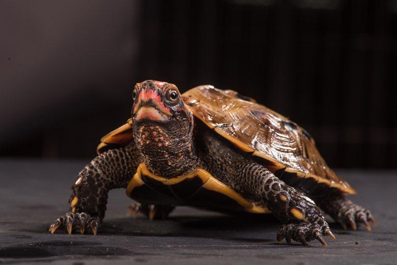 圖為列入華盛頓公約附錄的珍稀野生動物琉球地龜。 圖/林務局提供