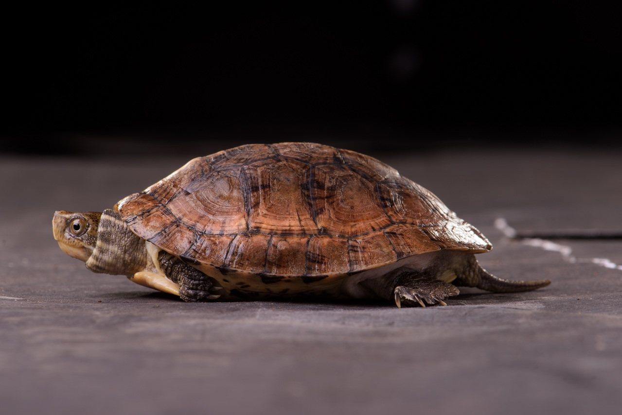 新增的珍稀野生動物眼斑龜。 圖/林務局提供