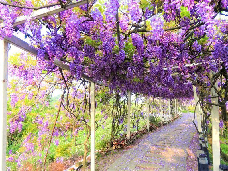 悠遊慢步於紫藤花隧道,感受紫藤花下的浪漫。(紫藤咖啡園提供)