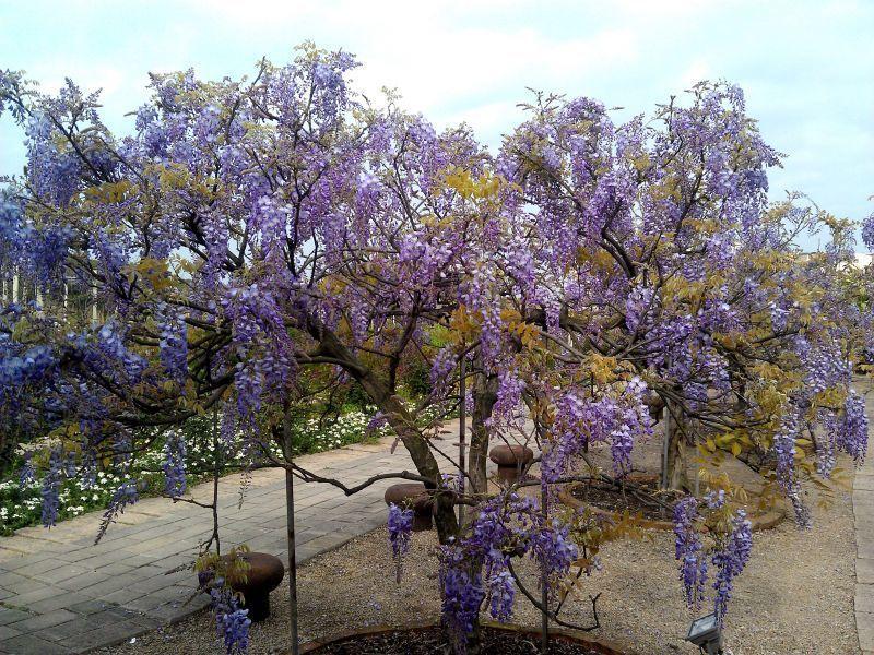 紫藤易成長、卻難以修剪,是需耗費心力照護的花種。(紫藤咖啡園提供)