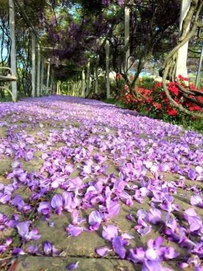 散落一地的紫藤花瓣,分外優美。(紫藤咖啡園提供)