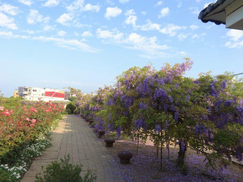 紫藤花花期短,建議把握時間前往賞花。(紫藤咖啡園提供)