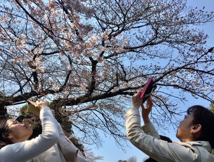 東京上野公園櫻花開放,吸引許多遊客前往賞櫻拍照。 聯合報系資料照