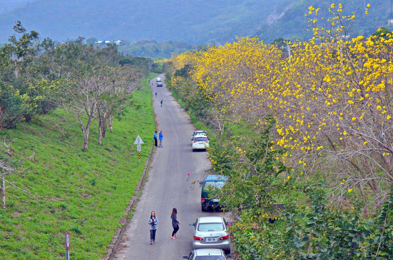 鹿寮溪防汛道路黃花風鈴木盛開,許多民眾趁連假到訪。記者潘俊偉/攝影