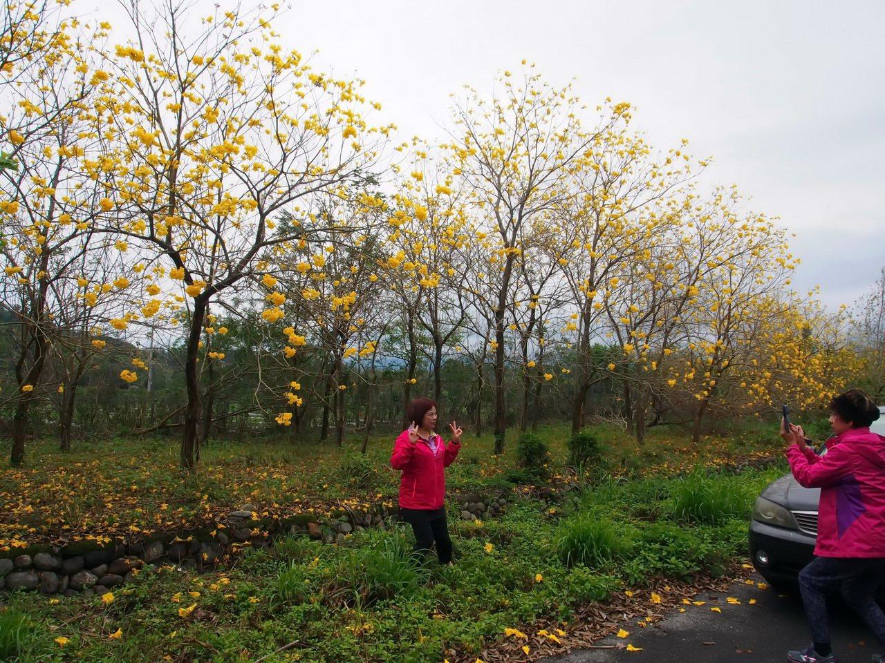 黃花風鈴木近日盛開,民眾把握連假前往拍照。記者潘俊偉/攝影