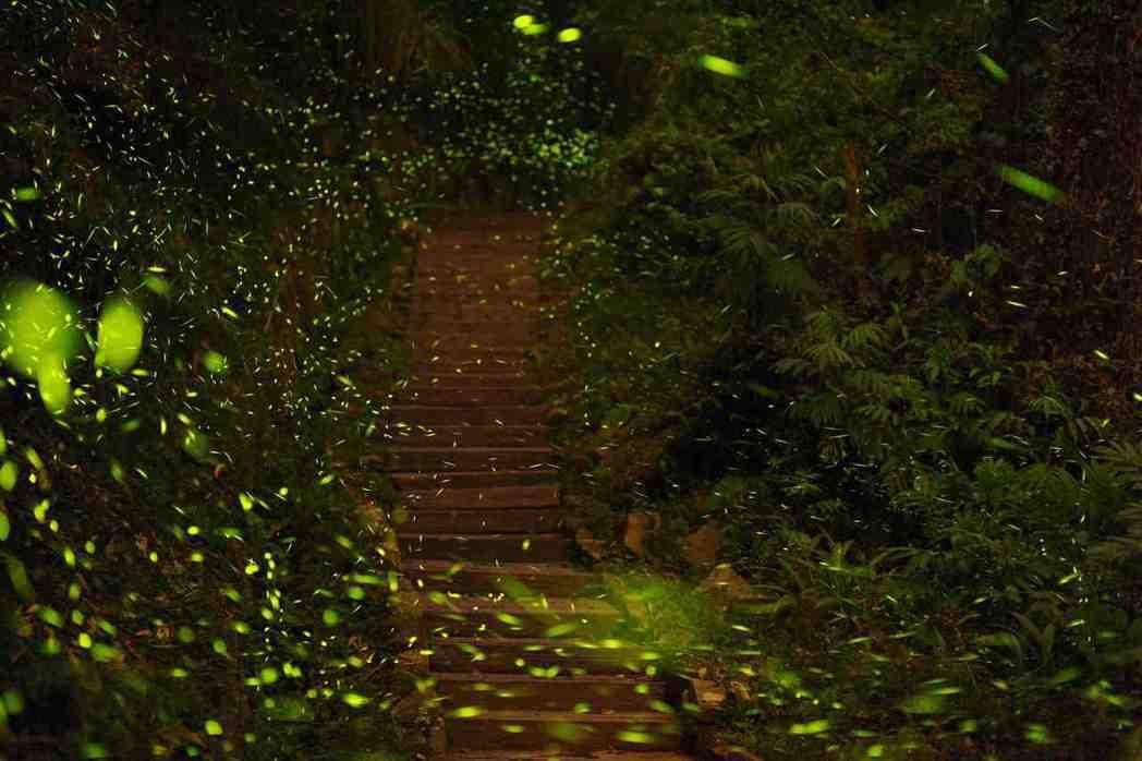 每年4、5月間,正是大阿里山區螢火蟲大發生期。圖/阿里山國家風景區管理處提供