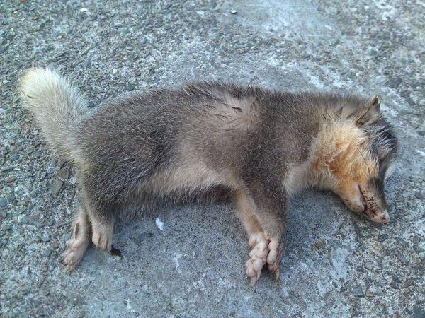 台東傷人的鼬獾死在事發住家門前,並確診為狂犬病陽性案例。 台東縣動物防疫所/提供