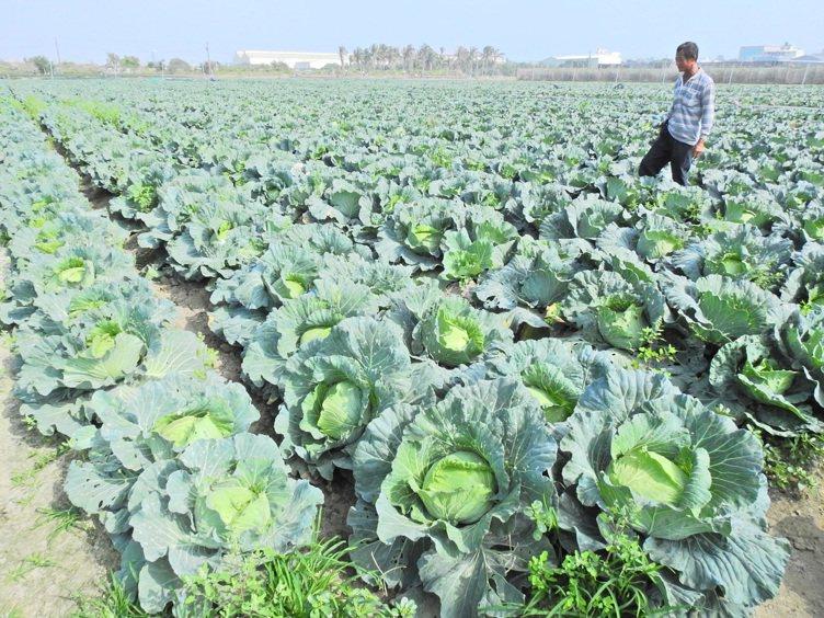 圖為菜農巡視田裡一景。 報系資料照