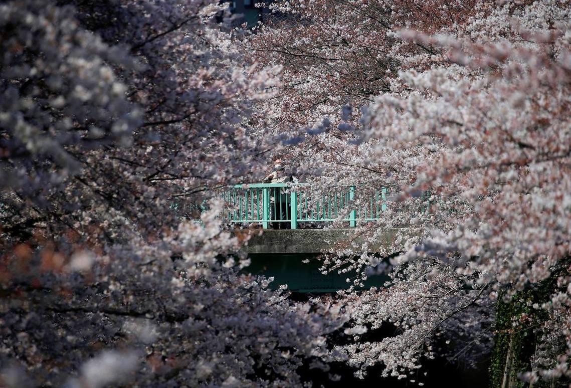 一名戴著口罩的長者在目黑川賞櫻。這條長約4公里的花見之道,也被各家花見網站評比為...
