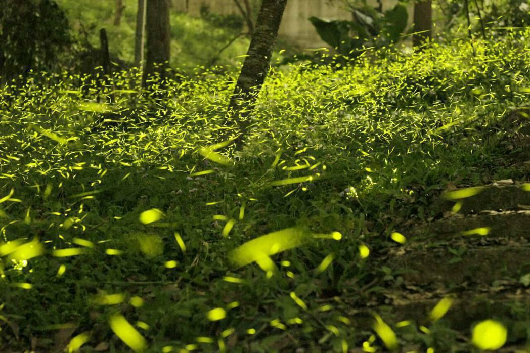 東勢林場預估今年螢火蟲大發生期在四月中下旬,高峰期可見2、30萬隻點點螢光(圖為...