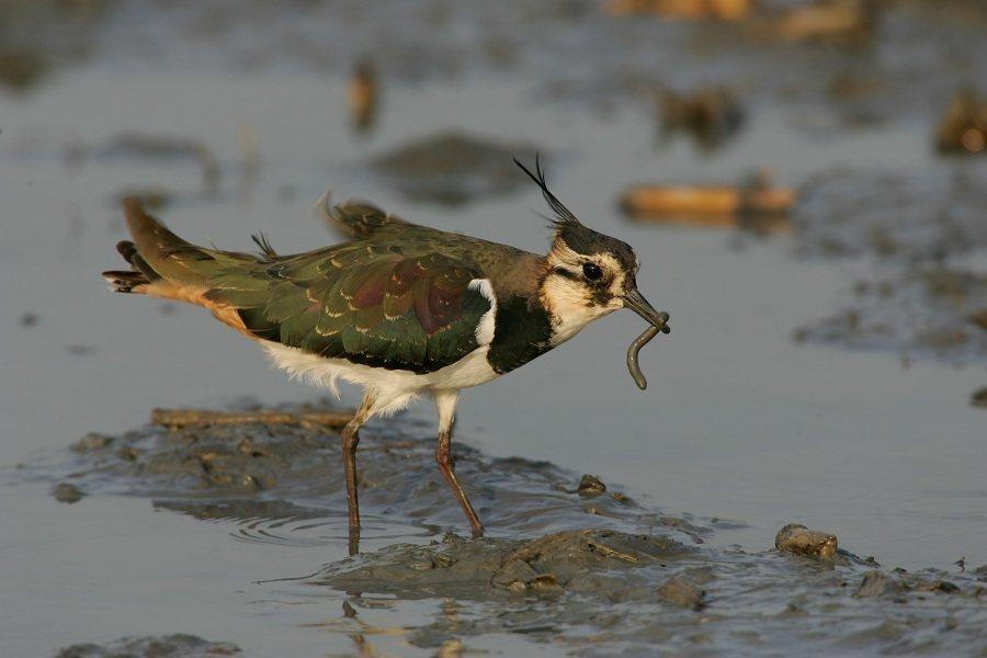小辮鴴不吃花生,卻偏好聚集在花生田裡,因此有個外號叫「土豆鳥」。(photo b...
