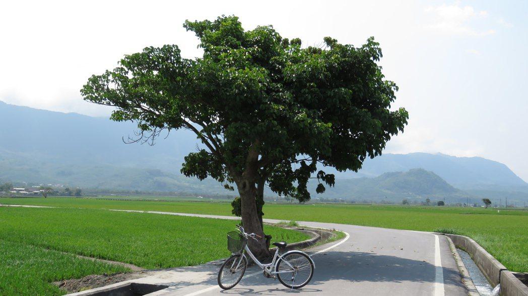 池上鄉公所今天公佈蔡依林遊伯朗大道時拍照的茄苳樹,就在距金城武樹不到200公尺。...