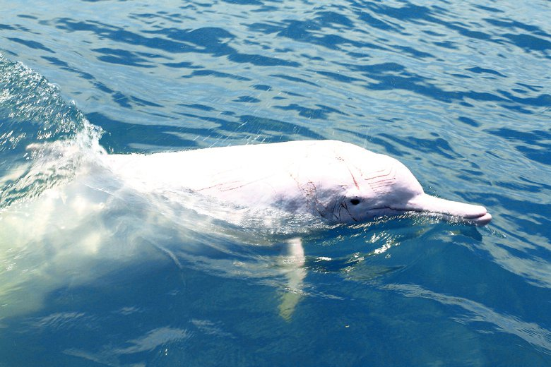 流刺網無差別捕撈所有海中生物,白海豚也無法倖免。即便大難不死,被目擊到的白海豚身...