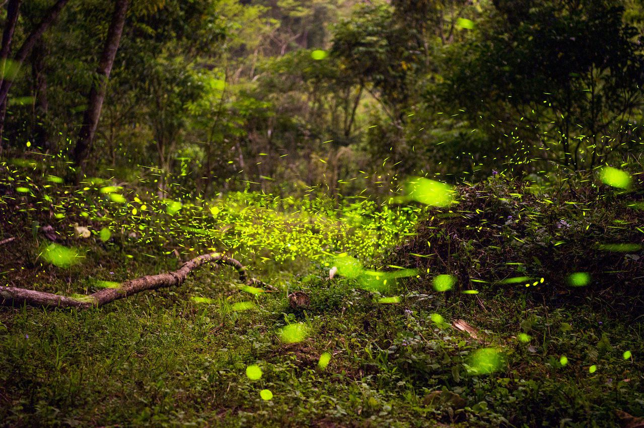 嘉義縣中埔鄉社口嘉大實驗林場,往年都可拍到數以萬計螢火蟲四處飛舞的壯觀畫面。圖片...