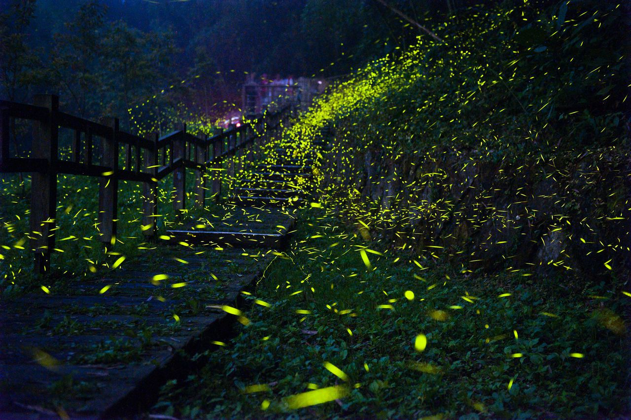 嘉義縣光華社區頂螢步道,四處飛舞的螢火蟲非常壯觀。圖片/洪年宏提供