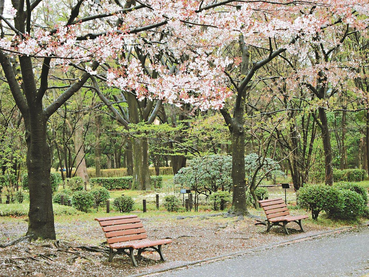 是這樣的季節,櫻花盛開,繽紛如夢。 ◎洪淑苓/攝影