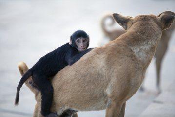 救生艇中的狗和軌道上的猩猩:如何用思想實驗討論動物倫理