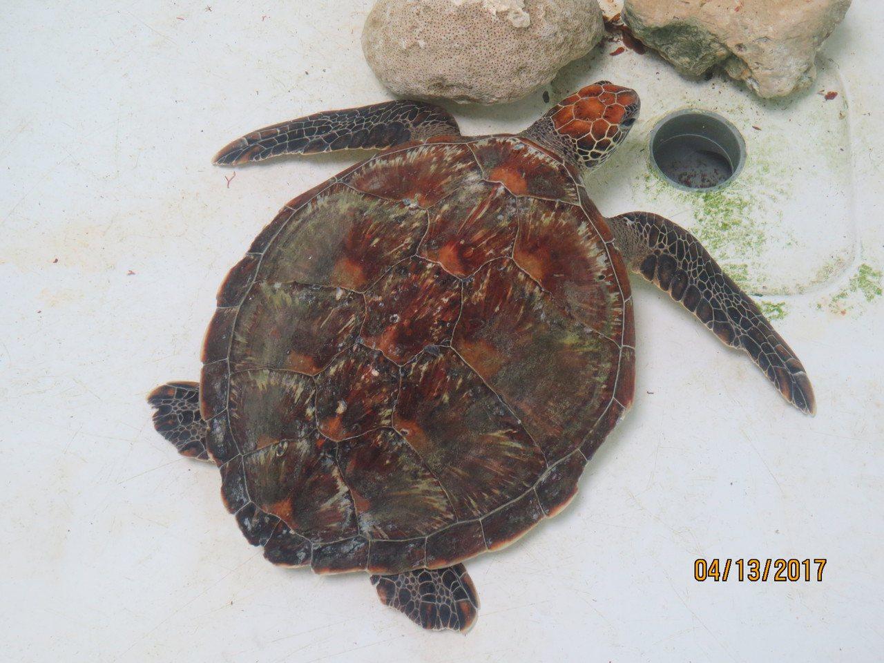 綠蠵龜後送至海生館診治現況。圖/林務局提供