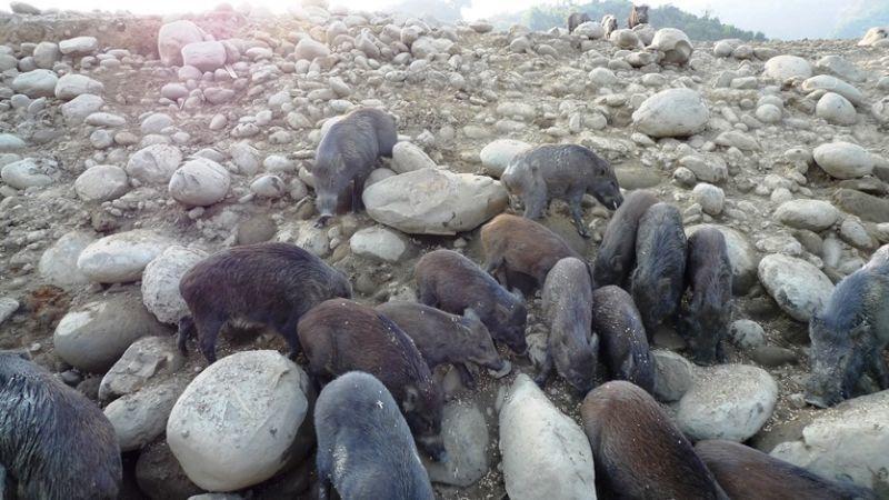 曾文水庫秘境之一山豬島上搶食的大豬小豬們。(圖/薛琳云)
