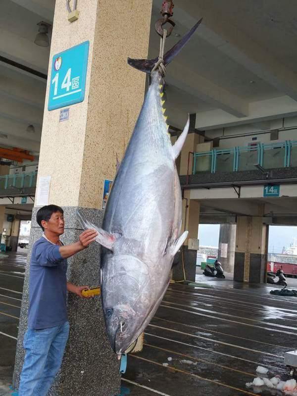 宜蘭縣南方澳捕獲今年全台第一鮪,價值非凡,將擇日拍賣。 圖/蘇澳區漁會提供