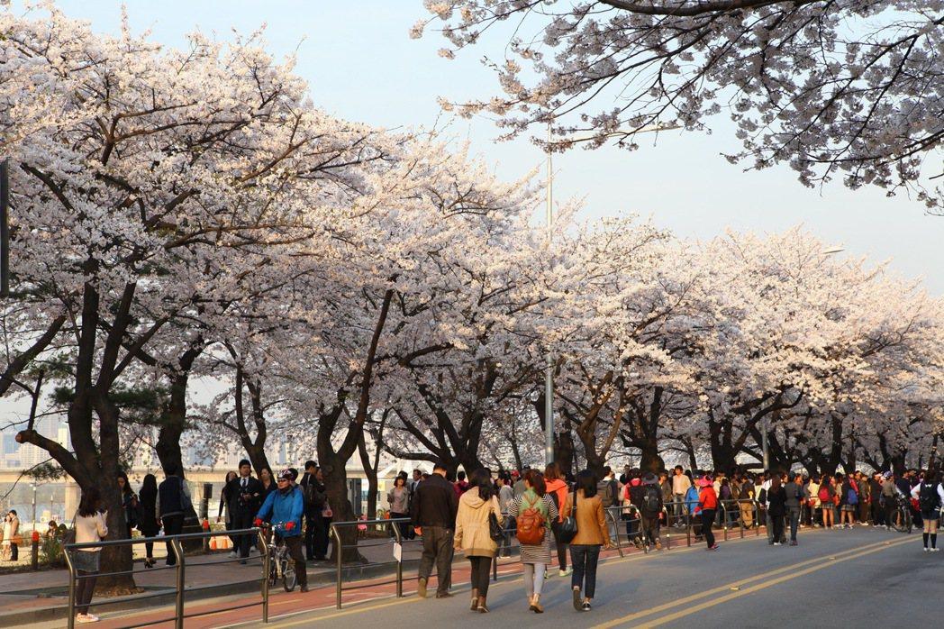 汝矣島輪中路櫻花。圖/韓國觀光公社提供