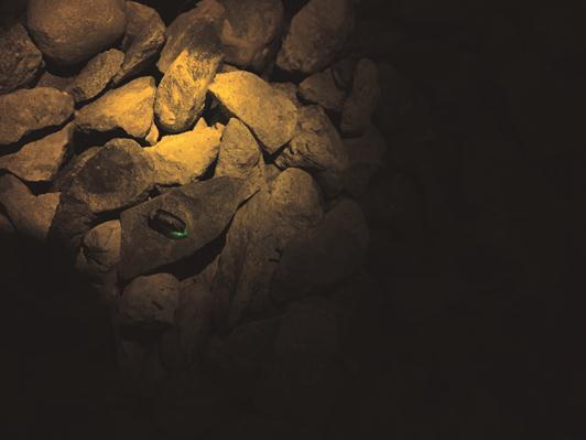 經過漫長復育工程後,台北終於再見螢火蟲蹤跡。(攝影/王億傑)
