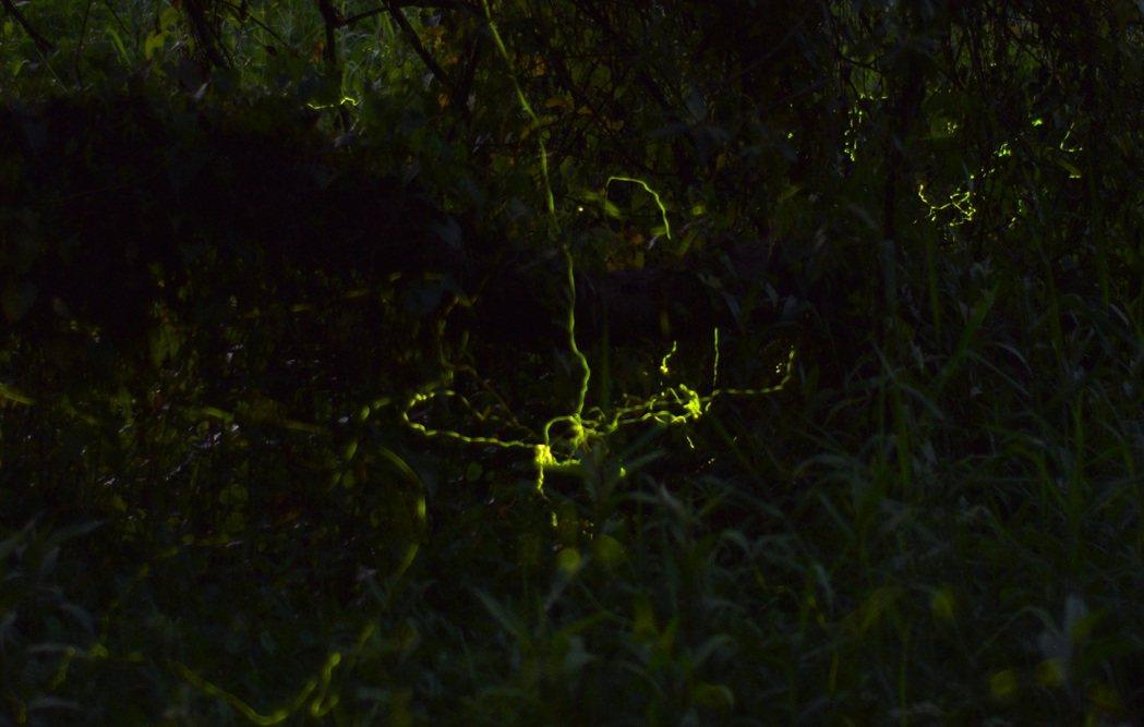 中興大學新化林場沖瀜池生態區螢火蟲開始現蹤。記者吳淑玲/攝影