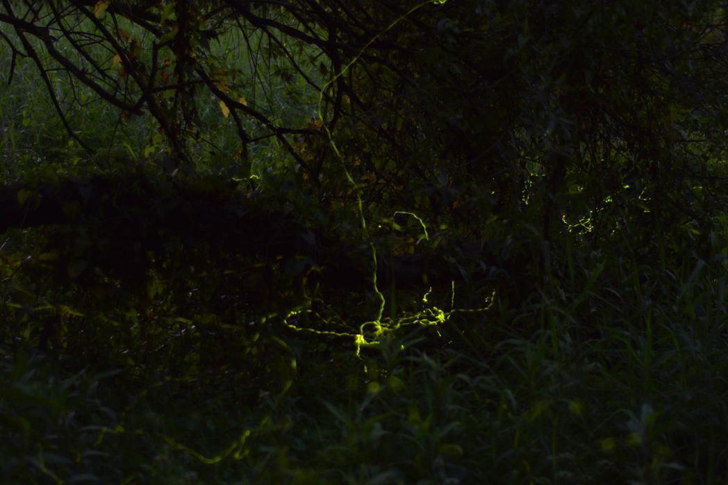 中興大學新化林場沖瀜池生態區螢火蟲開始出現,數量逐日增加。記者吳淑玲/攝影