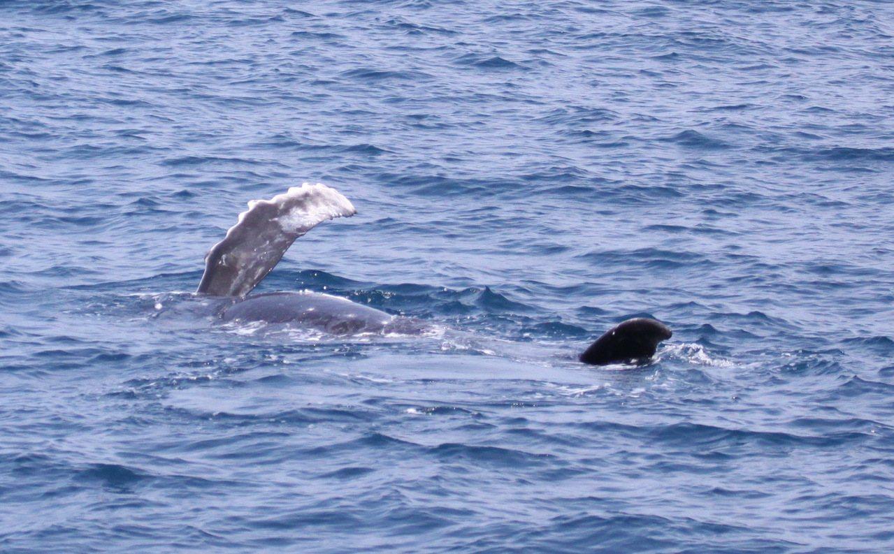 中華鯨豚協會15日所拍大翅鯨寶寶側身。照片/東管處提供