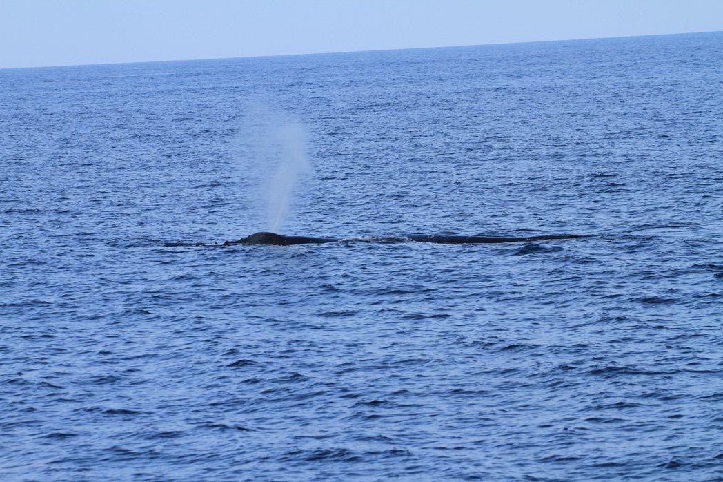 中華鯨豚協會15日所拍,大翅鯨媽媽噴氣。照片/東管處提供
