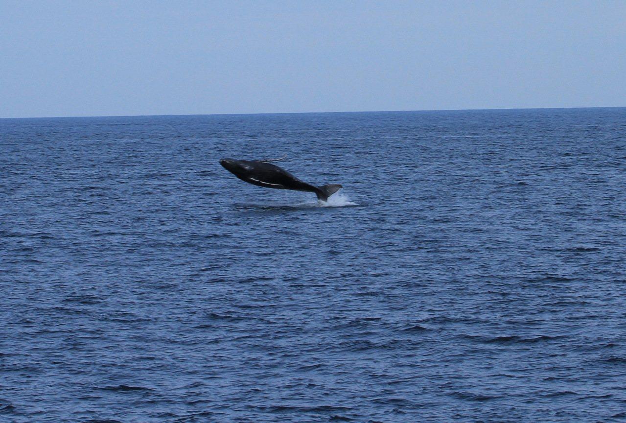 中華鯨豚協會15日所拍,大翅鯨寶寶躍出海面。照片/東管處提供