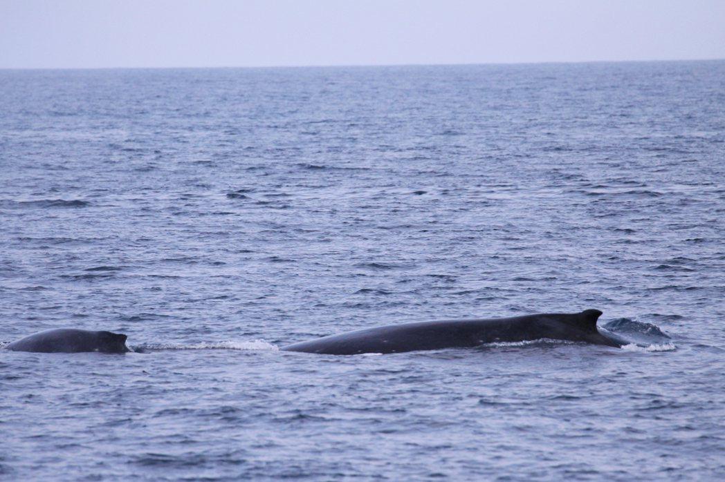中華鯨豚協會15日所拍大翅鯨母子。照片/東管處提供